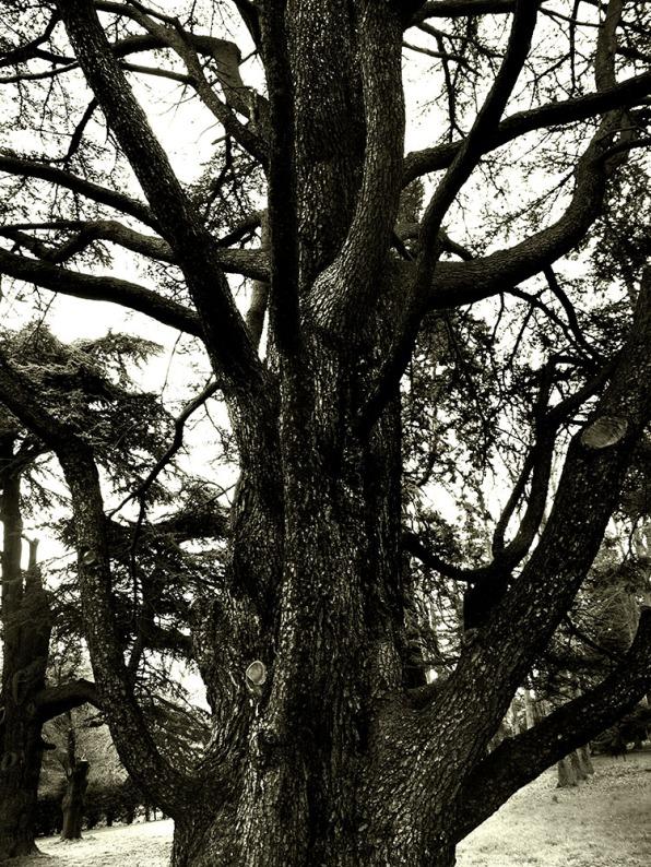 Tree, Luton Hoo, Bedfordshire