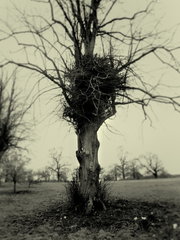 Tree and birds nest, Luton Hoo, Bedfordshire